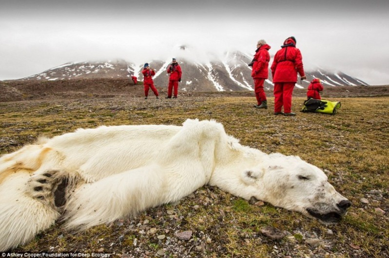 This polar bear starved to death in Svalvard, Norway. Disappearing ice caps are robbing polar bears of both their living space and food.