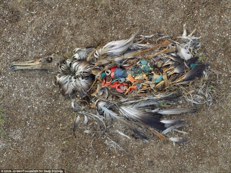 A dead albatross shows what happens when we litter. A living dumpster.