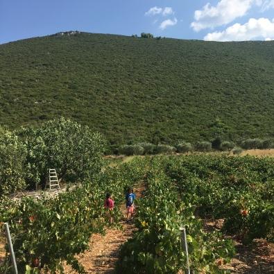 Vineyard, Zakynthos