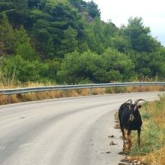 Goat on Road, , Zakynthos
